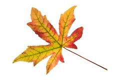 Blatt eines bernsteinfarbigen Baums Stockbild