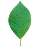 Blatt eines Vogel-Kirschbaums Stockfoto