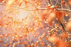 Blatt-Hintergrundunschärfe des Fallherbstschweinskopfsülze trockene Herbsthintergrund mit Sonnenuntergang Lizenzfreie Stockfotos