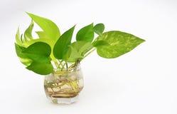 Blatt im Vase Lizenzfreie Stockfotos