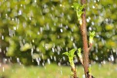 Blatt-Knospen im Regen Stockfotografie