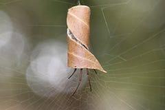 Blatt-kräuselnde australische Spinne in gekräuseltem Blatt am spiderweb stockfotografie