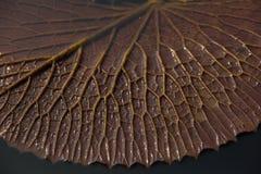 Blatt Lotus Stockfotografie