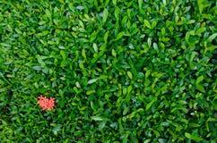 Blatt mit Ixora-Hintergrund Lizenzfreies Stockbild