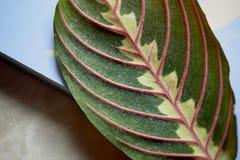 Blatt mit roten Adern im Makro entziehen Sie Hintergrund nah Stockbilder