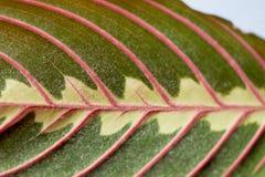 Blatt mit roten Adern im Makro entziehen Sie Hintergrund nah Lizenzfreies Stockbild