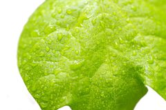 Blatt mit Wassertropfen Frisches Blatt mit Tau Blatt auf weißem backgr Lizenzfreie Stockfotografie