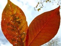Blatt mit zwei Herbsten Stockfotos