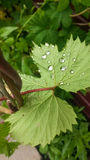 Blatt nach Regen Stockbild