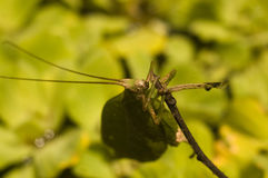 Blatt-Nachahmung des katydid, das Zweig anhaftet stockbild