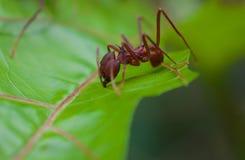 Blatt-Schneider-Ameise, die 5 schneidet stockbild