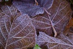 Blatt und Frost Stockfoto