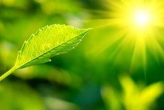 Blatt und Sonne Stockfoto