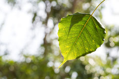 Blatt von Bodhi-Baum Lizenzfreie Stockfotografie