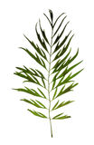 Blatt von grevillea Robusta lokalisiert auf Weiß Stockbilder