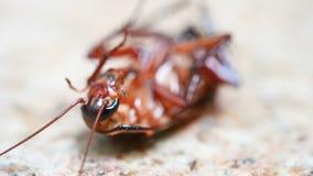 blatta avvelenata che è morsa dalle formiche e lottando sul primo piano a terra stock footage