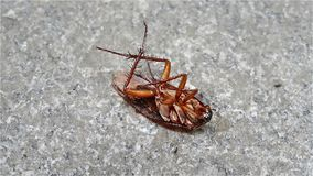 Blatta di morte alimentare dalla formica stock footage