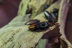 Blatta di sibilo del Madagascar Immagini Stock Libere da Diritti