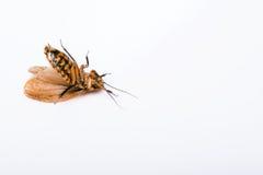Blatta di sibilo del Madagascar su fondo bianco Fotografia Stock