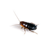 Blatta orientalis - female black cockroach aka Oriental Stock Photo