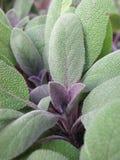 Blattabschluß oben von Salvia-officinalis Kraut lizenzfreie stockfotografie
