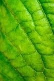 Blattbeschaffenheit, Blatthintergrund für Design von Adern und Chlorophyll Stockfotografie