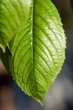 Blattbeschaffenheit, Blatthintergrund für Design von Adern und Chlorophyll Stockfotos