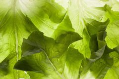 Blattbeschaffenheitsabschluß des grünen Salats herauf Makro stockfotografie