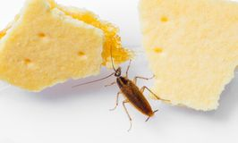 Blattella germanica german cockroach stock photos