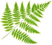 Blattfarn lokalisiert auf weißem Hintergrund Stockfotos