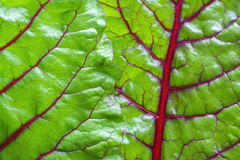 Blattgemüsenahaufnahme des Mangolds grüne Stockfoto