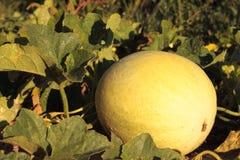 Blatthonig-Melone betriebsbereit zur Ernte lizenzfreie stockbilder