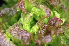 Blattkopfsalat der roten Eiche Stockbild