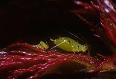 Blattläuse Stockbild