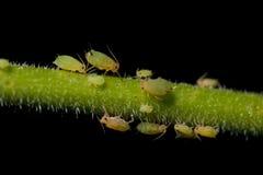 Blattläuse auf Anlage stockbild