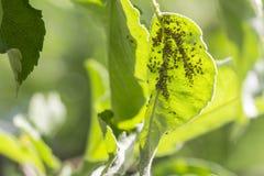 Blattläuse auf dem Innere des Blattes Landwirtschaftliche Plage lizenzfreies stockfoto