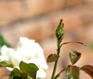 Blattläuse auf einer Rose Lizenzfreie Stockbilder
