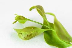 Blattläuse werden auf einem Blatt gehockt Stockbild