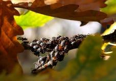 Blattlaus auf Baum Stockbilder