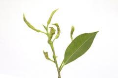 Blattlocke ist eine Pflanzenkrankheit, die indem sie von Blättern gekennzeichnet wird, sich kräuselt lizenzfreies stockbild