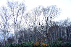 Blattlose Ahornbäume Stockfotos
