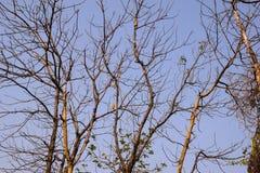blattlose Baumastfront des blauen Himmels stockfotografie