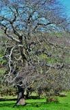 Blattloser Baum Stockbild