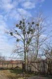 Blattloser Baum mit Mistelzweig Stockbild