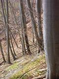 Blattloses Buchenholz im Frühjahr Lizenzfreie Stockbilder