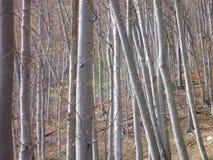 Blattloses Buchenholz im Frühjahr Stockfotos