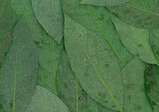 Blattrückseite astract Hintergrund des Avocadogrüns nasser stockfotos
