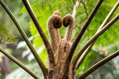 Blattsprösslinge eines australischen Baumfarns Stockfotos