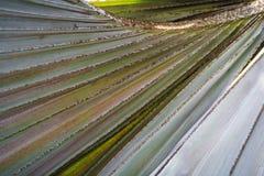 Blattstiellinien von Borassus flabellifer Baum Lizenzfreies Stockfoto