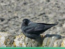 Blauäugige Dohle Lynmouth, England, Großbritannien Stockfotografie